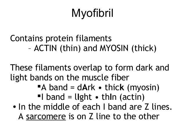 myofilamentmuscle                 sarcomere epimysium                       myofibrils  muscle fiber