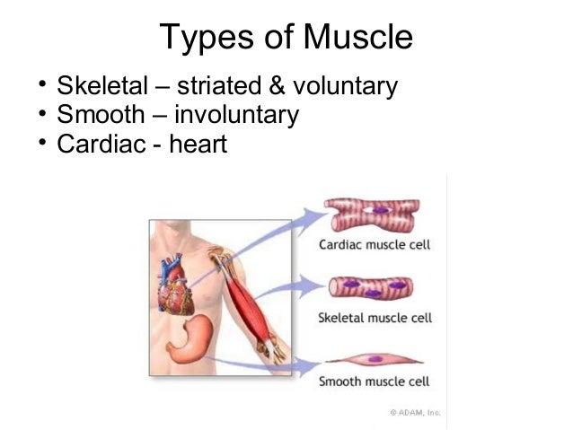 Types of Muscle• Skeletal – striated & voluntary• Smooth – involuntary• Cardiac - heart