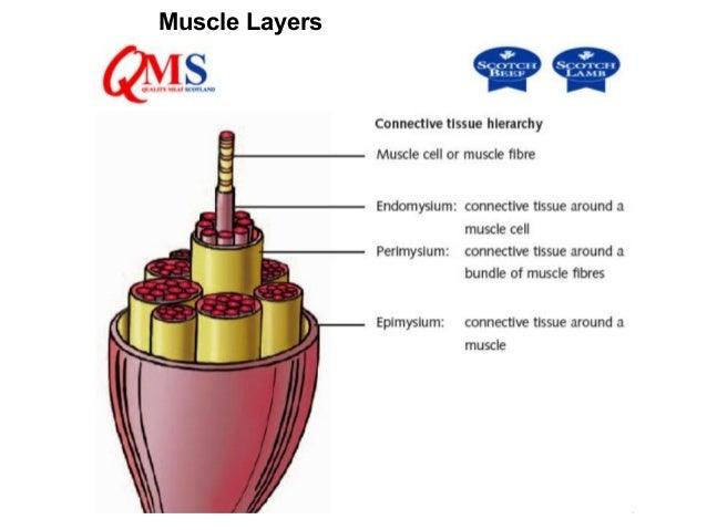 SARCOLEMMASarcolemma = muscle fiber membraneSarcoplasm = inner material surroundingfibers (like cytoplasm)Myofibrils = ind...