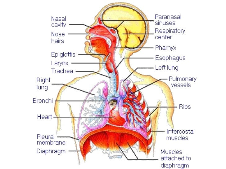 • 4 Chambers of Heart  – Auricles to receive blood  – Ventricles to pump blood  – Left side oxygenated blood  – Right side...