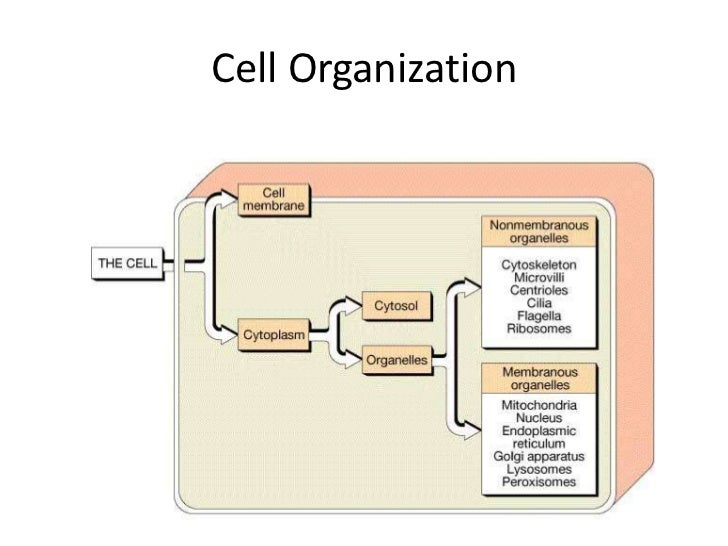 Cytosol• Intracellular fluid• Contains dissolved nutrients, ions, proteins  and waste products