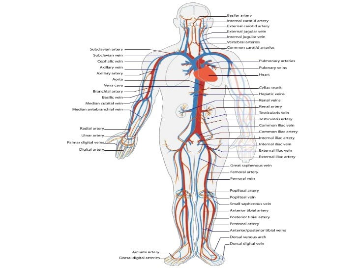 Anatomy of the Muscular System     • Muscles that Move the Arm                                   Figure 7-18(a)