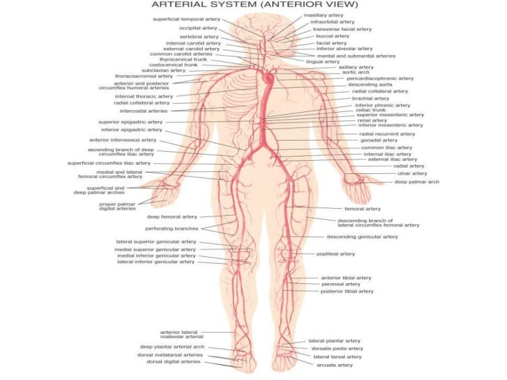 Anatomy of the Muscular System     • Muscles that Move the Arm                                   Figure 7-18(b)