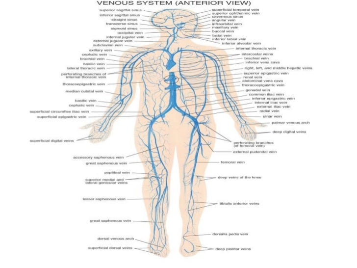 Anatomy of the Muscular System• Muscles That Move the Forearm and Wrist                                       Figure 7-19