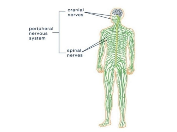 When skeletal muscles contract, they mayproduce two types of contractions:        Isotonic contraction        Isometric ...