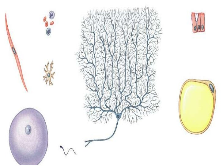 Cell Diversity• Lots of shapes and sizes