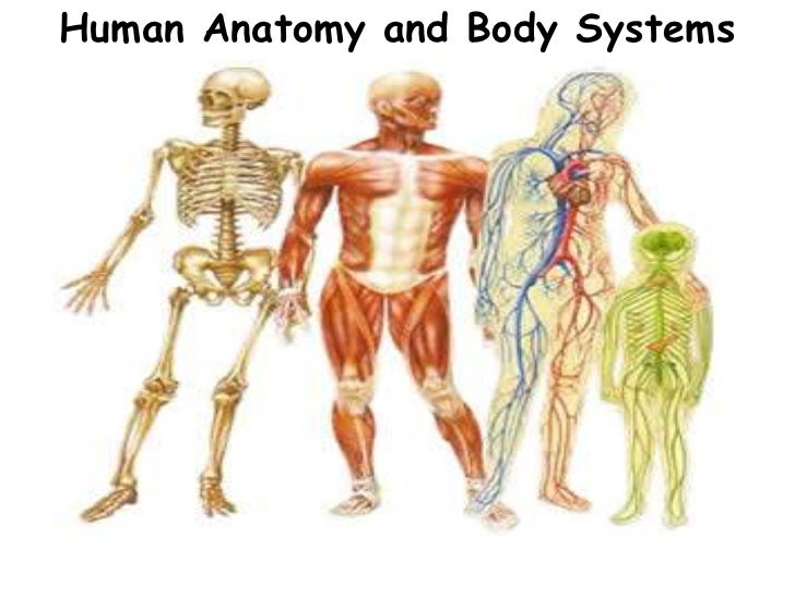 Essay body systems work together