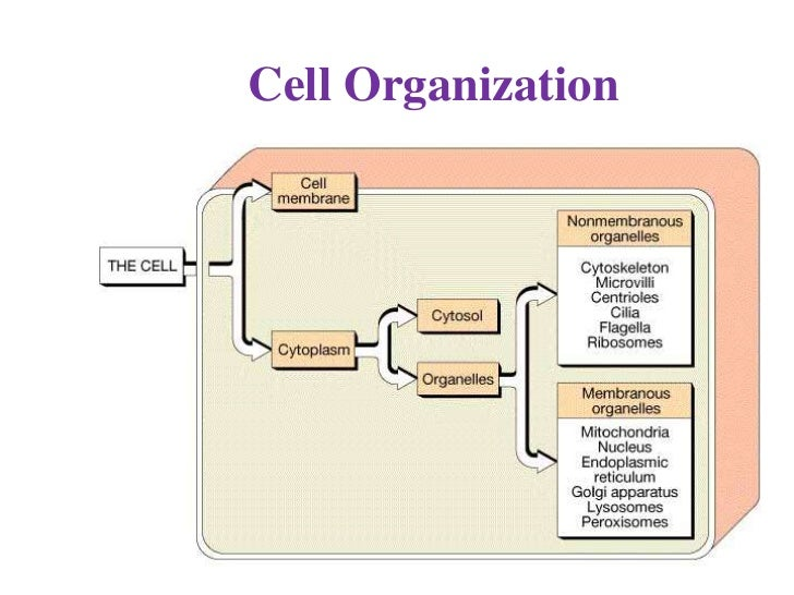 Cell Organization•   The cell includes two basic parts:    1. Cell Membrane (outer covering of cell)    2. Cytoplasm      ...