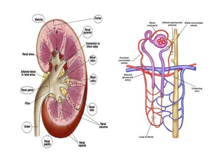 • Lung Volumes  – Tidal capacity : 500c.c.  – Dead space : 150c.c.  – Vital capacity : 4500c.c.  – Total lung capacity : 6...