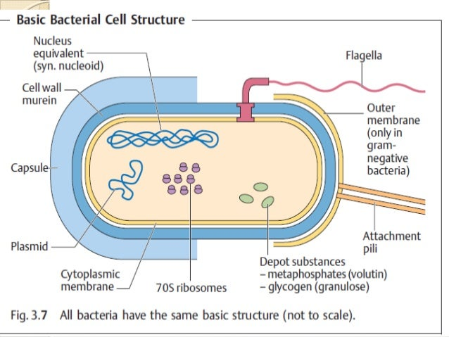 Anatomy and physiology of bacteria 22 ccuart Image collections