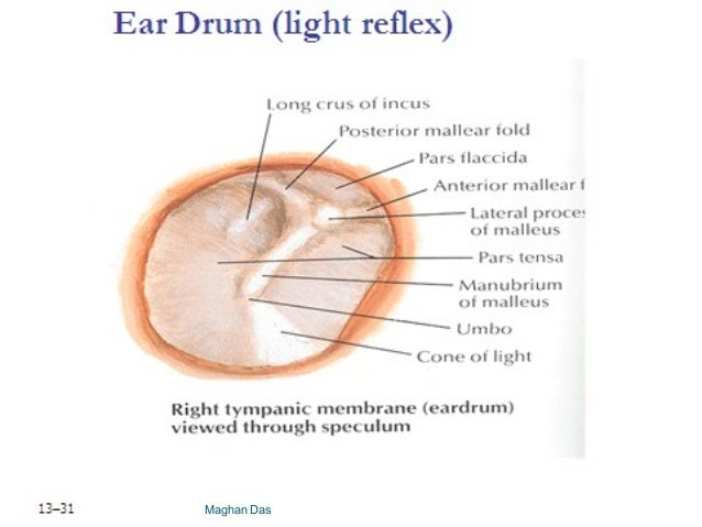 Anatomy And Physiology Of Ear By Maghan Das