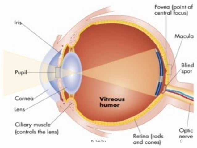 Anatomy And Physiology Of Eye By Maghan Das
