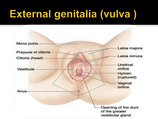 Anatomy and physiology of female reproductive system 8 the internal genital organs ccuart Images