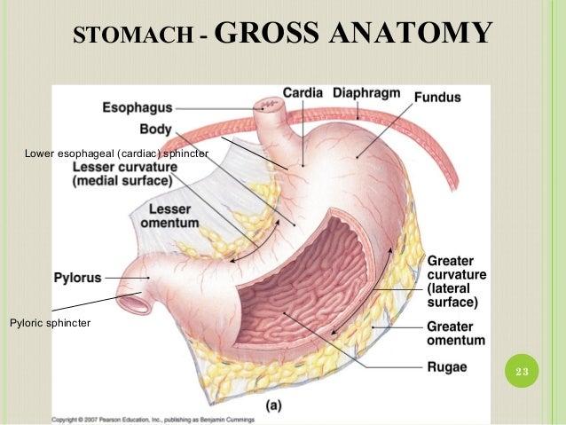 Anatomy and Physiology of GI Tract