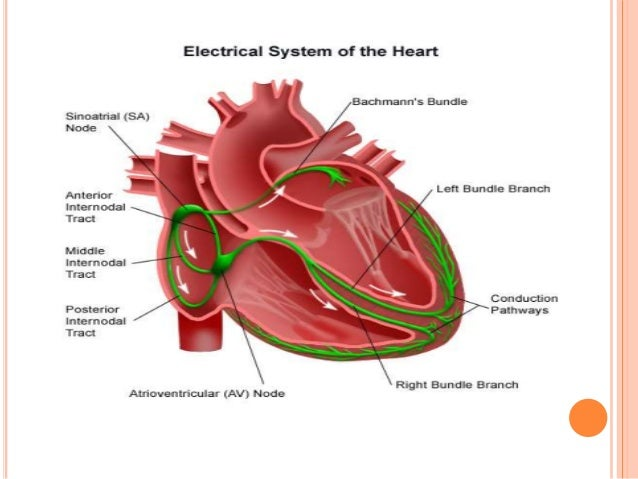 Anatomy and physiology of heart, lung ,