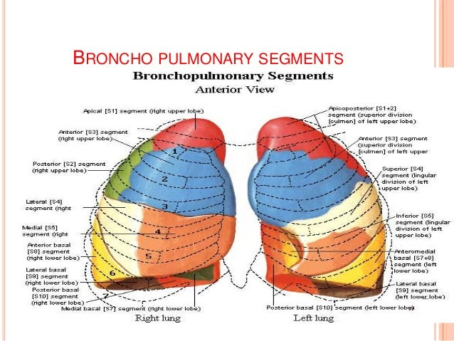 Anatomy And Physiology Of Heart Lung