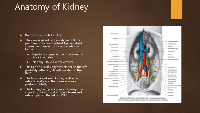 Anatomy and physiology of kidney Slide 3