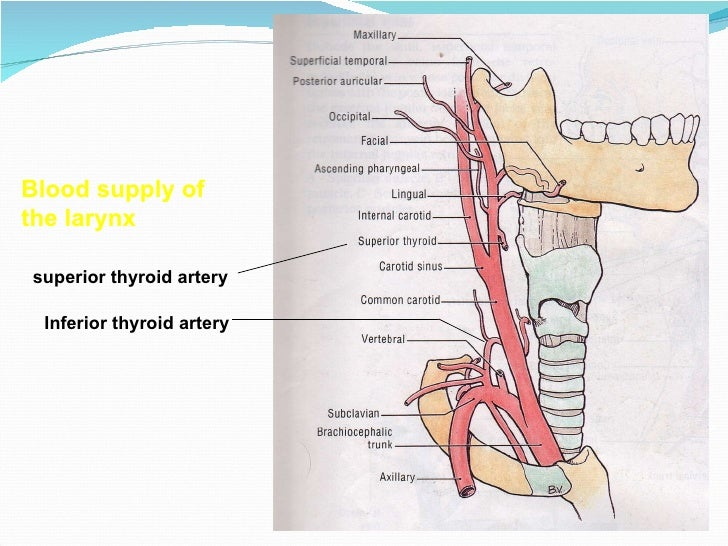 E.N.T.Anatomy and physiology of larynx.(dr.usif chalabe)