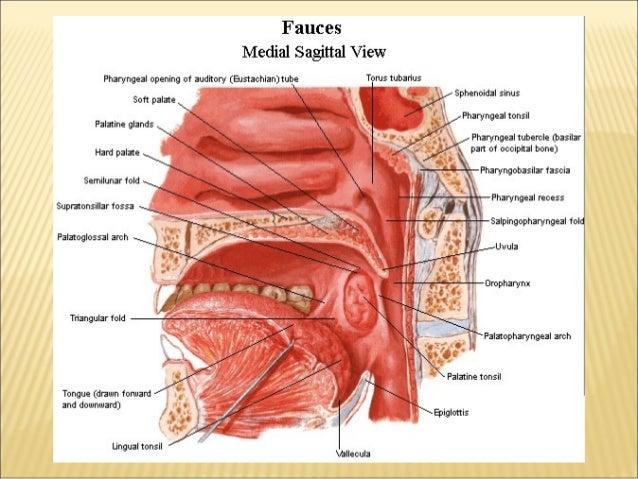 Anatomy and physiology of oral cavity oropharynx waldeyer's