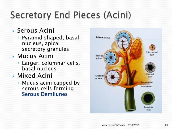 Anatomy And Physiology Of Salivary Glands