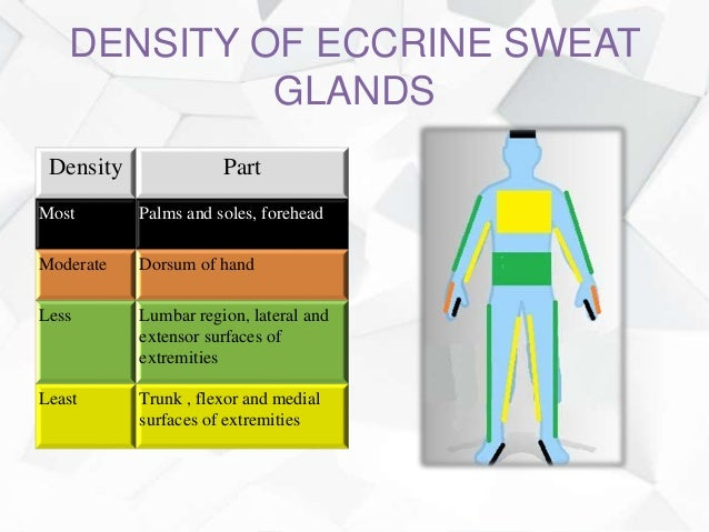 Anatomy and physiology of sweat glands