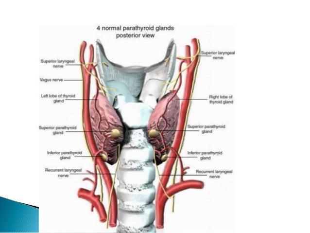 Anatomy and physiology of thyroid gland