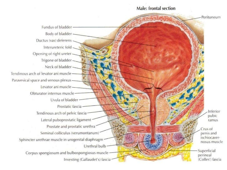 the urinary bladder, Human Body