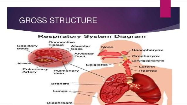 Respiratory System Diagram Pregnancy - House Wiring Diagram Symbols •
