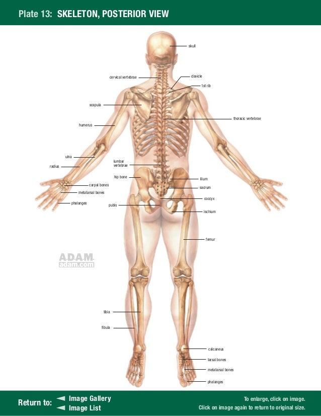 Großartig Adam Anatomie Bilder Galerie - Anatomie Ideen - finotti.info