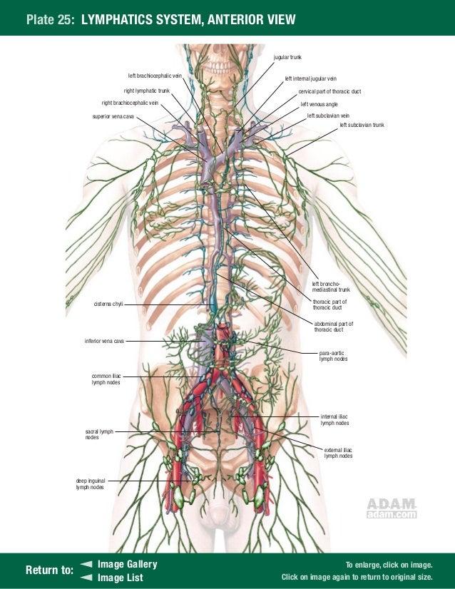 Adam software anatomy