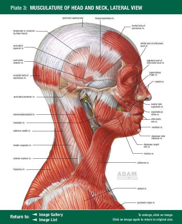Gemütlich Interaktives Anatomie Modell Ideen - Menschliche Anatomie ...