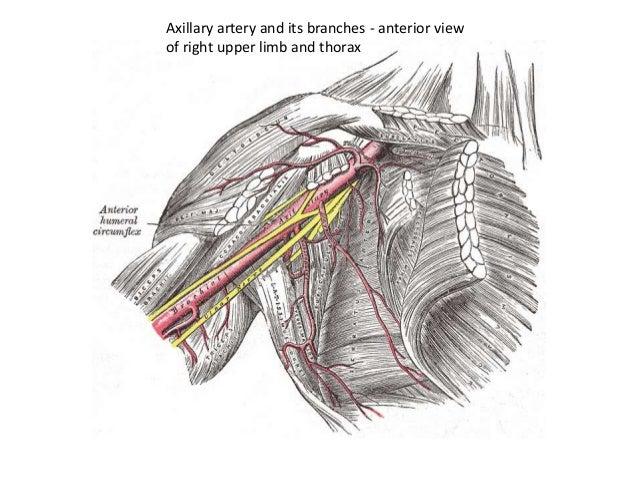 Anatomy axilla 25112010