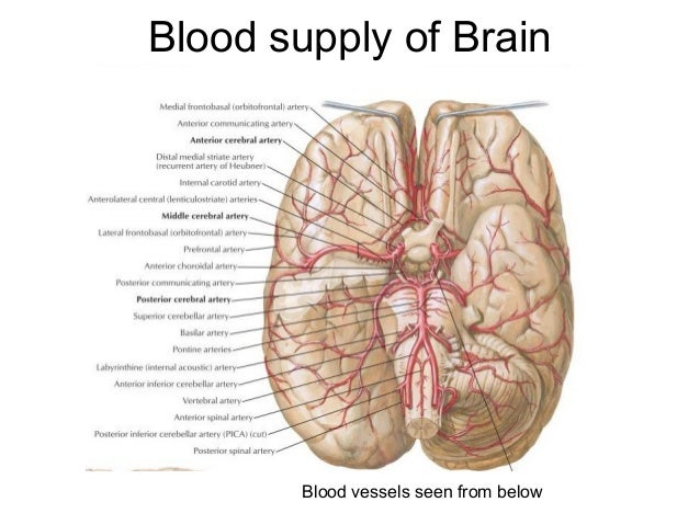 Anatomy Blood Supply Of Brain