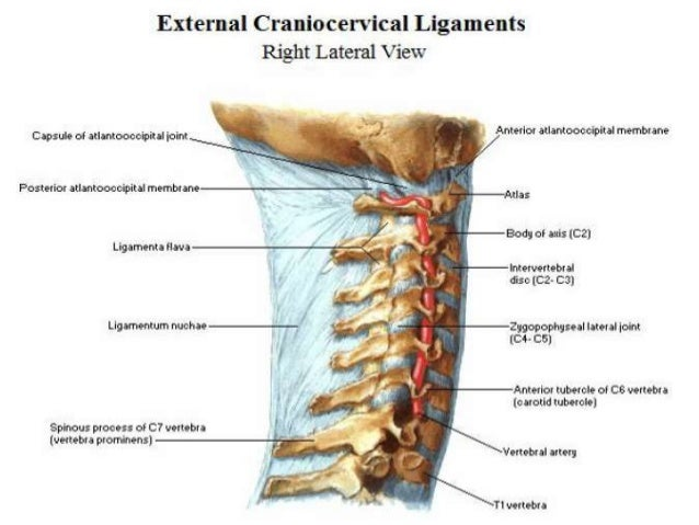 Anatomy cervical spine