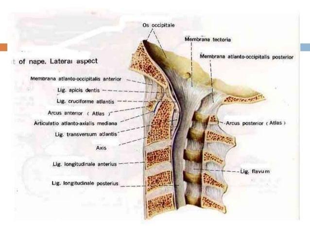 Anatomy c spine
