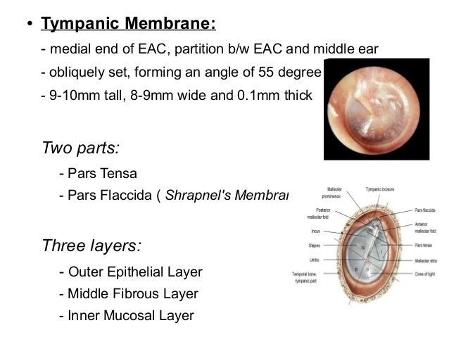 anatomy  u0026 embryology ext ear  u0026 middle ear
