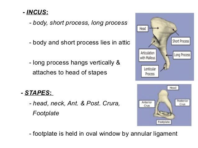 Anatomy & embryology ext ear & middle ear