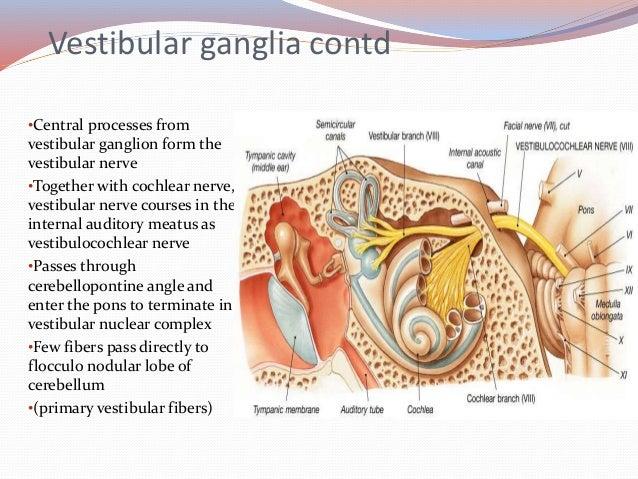 anatomy amp embryology of vestibular system