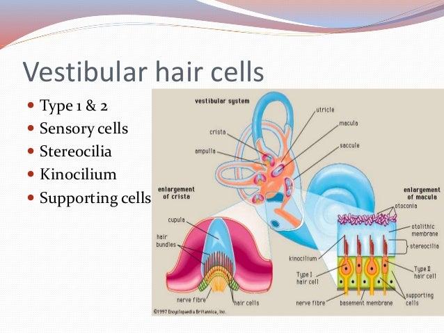 Vestibular system anatomy