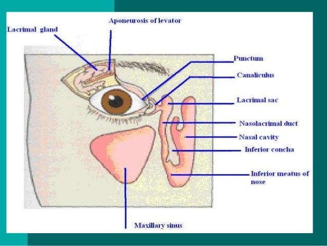 Anatomy Of External As Well Internal Eye
