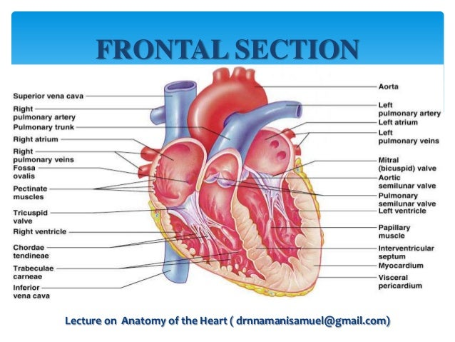 Heart Anatomy Diagram Of The Sectional - All Kind Of Wiring Diagrams •