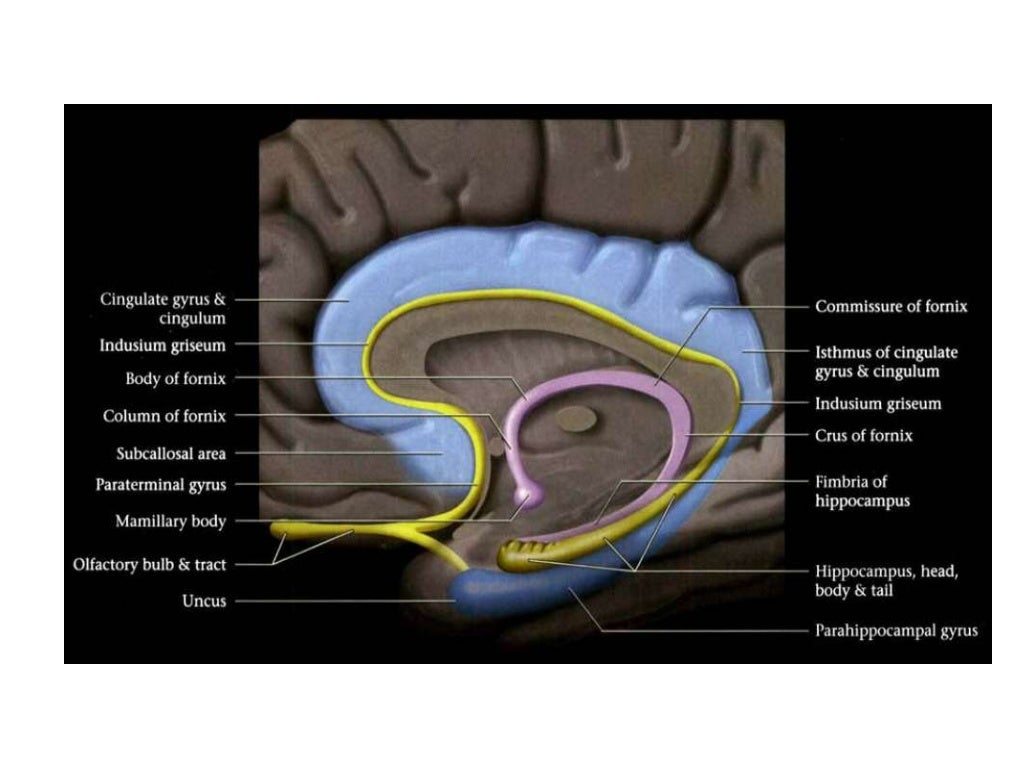 Anatomy Of Hippocampus Radiology