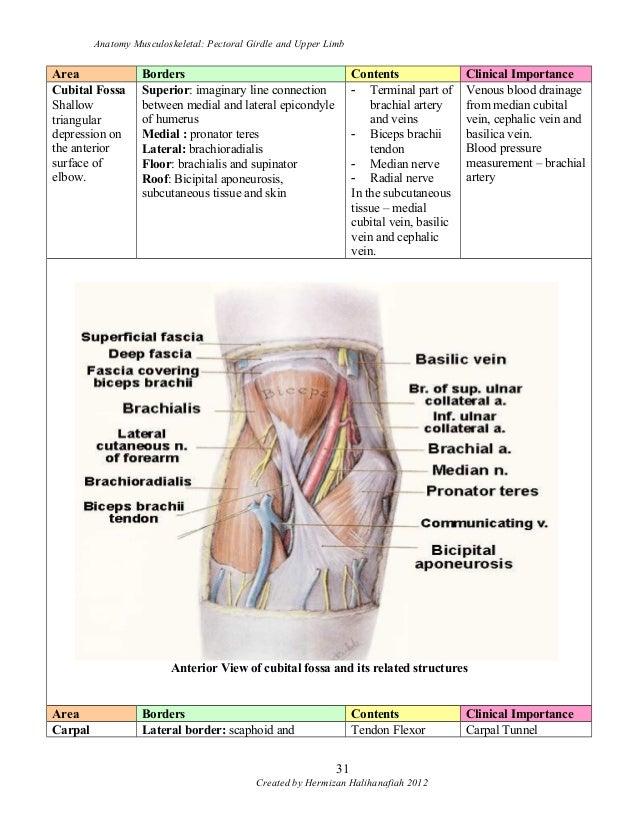 Anatomy Muskuloskeletal Pectoral Girdle Upper Limb