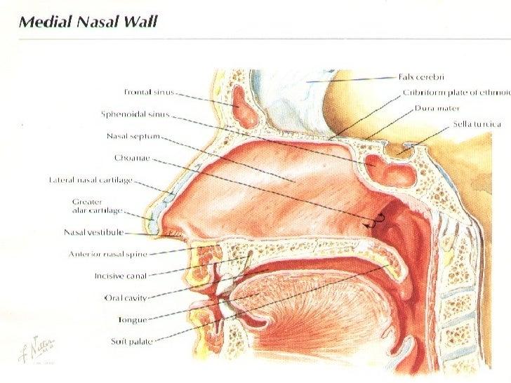 Anatomy Nasal Septum and Septoplasty - Pakistan