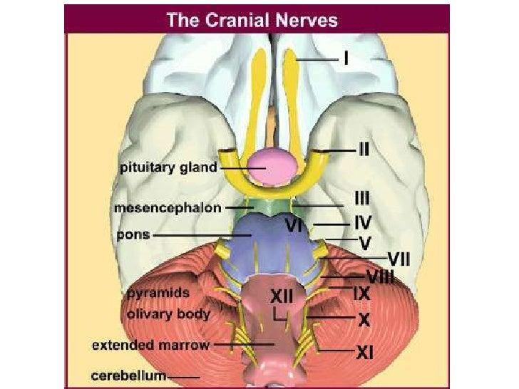 Anatomy Nazeen Batch Cranial Nerves