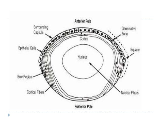 Anatomy And Embryology Of Crystalline Lens Drbp