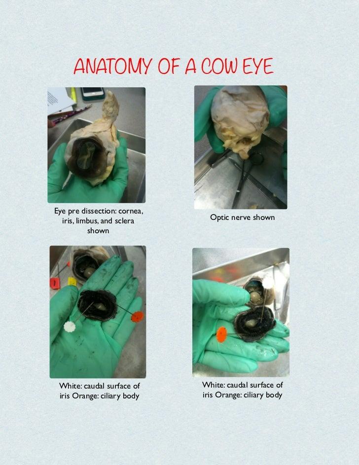 Anatomy Of A Cow Eye