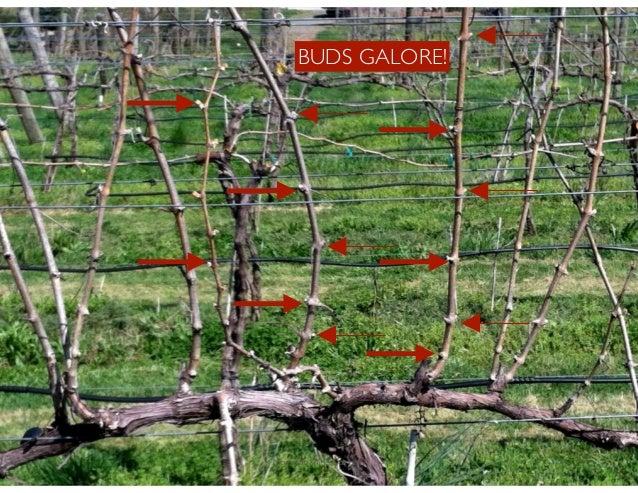 Anatomy Of A Grape Vine