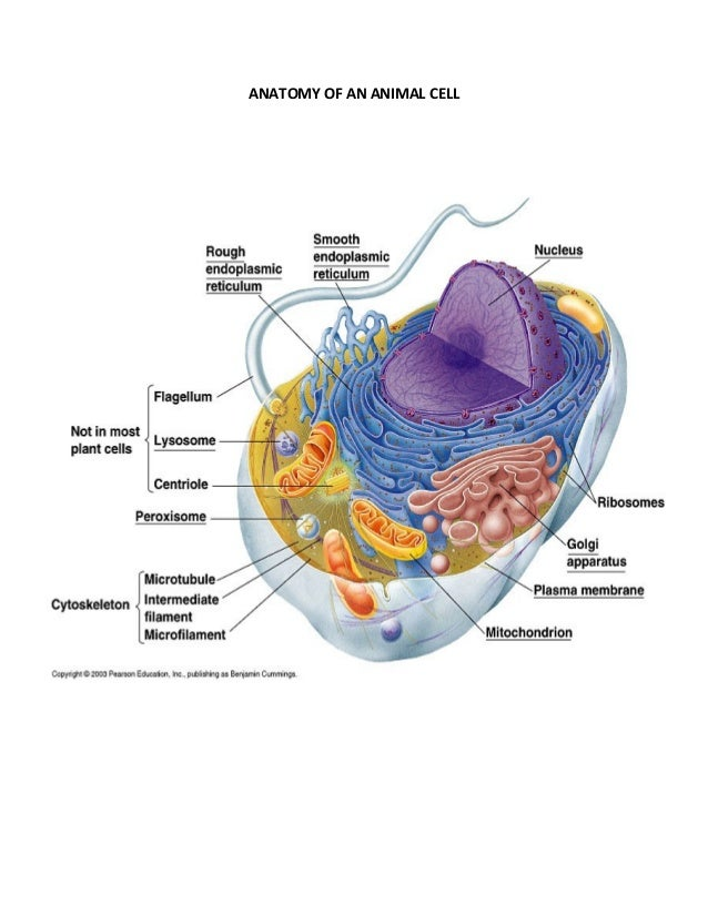 Anatomy of an animal cell