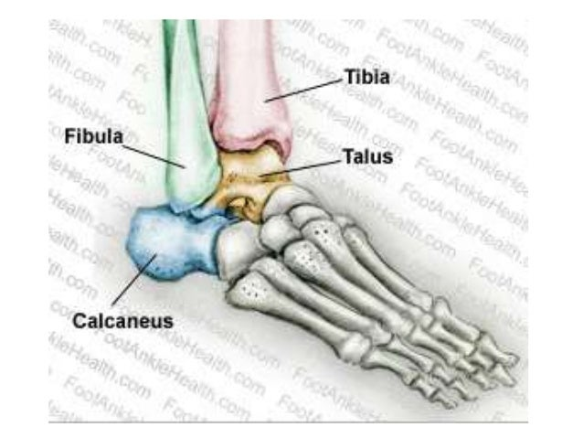 Anatomy Of Ankle Joint